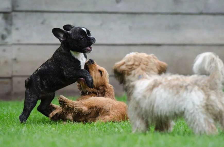 Puppies have special needs when it comes to their care. Learn the basics of puppy care for your dog daycare business.